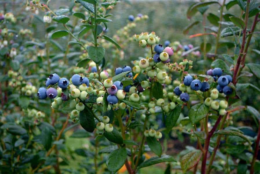 Blueberries low pH soil