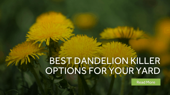 dandelion killer