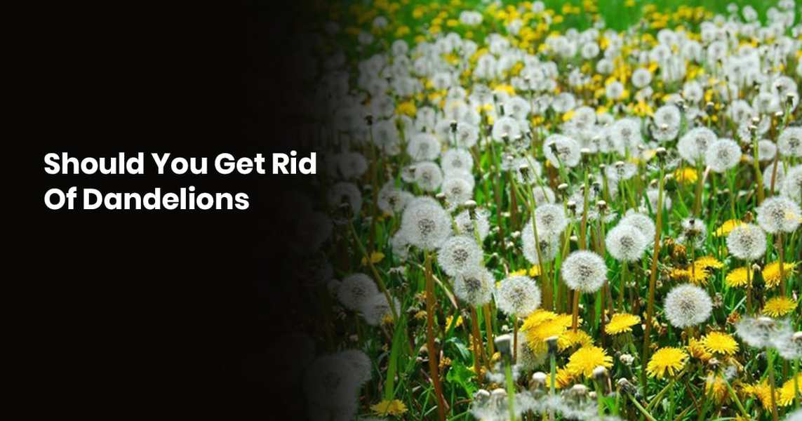 Should You Get Rid Of Dandelions